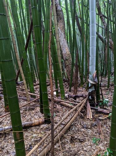 20200628春日山の竹やぶ.jpg