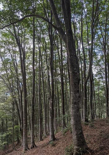20210912尾根のブナ林.jpg