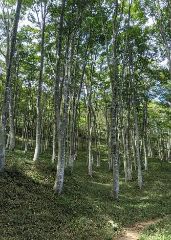 20210912岩籠山のブナ林.jpg