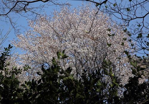 20180404山桜.JPG