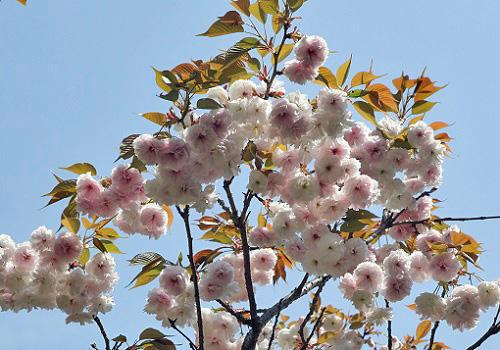 20180410鴨川の桜.JPG